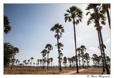 Les palmeraies sénégalaises - © Claire Ricard