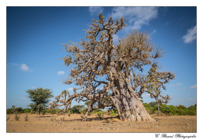 Baobab © Claire Ricard