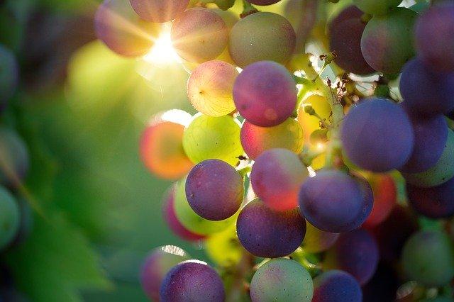 Photo d'une grappe de raisins dans une vigne